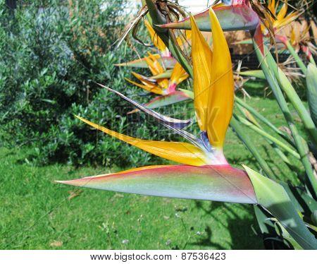 A flowering Strelitzia plant