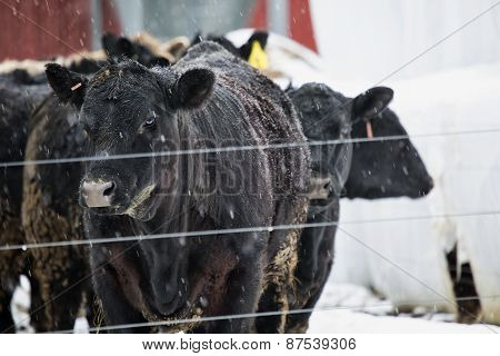 Beefers In The Snow