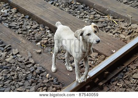 Ugly Wild Grey Dog On The Train Road