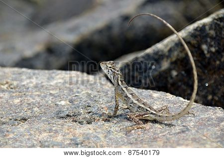 Little Lizard On The Rock In Nature