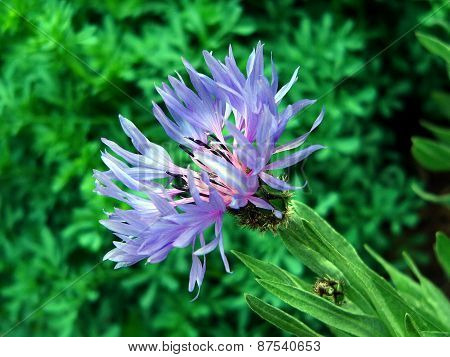 blossoming bud cornflower