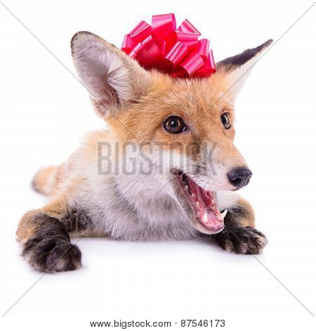 Red Fox With A Bow