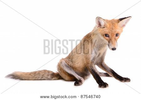Sad Red Fox Isolated