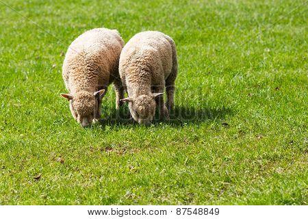 Two Baby Lambs Eating Grass in a Field. UnitedKingdom, Devon