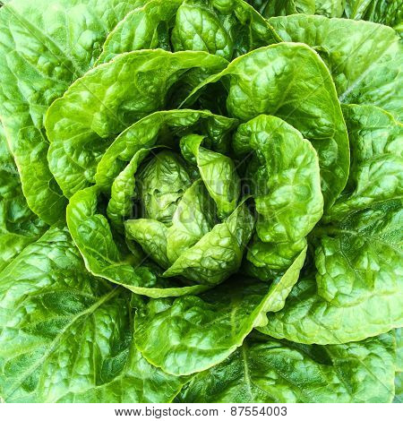 Close-up Of Green Butterhead Lettuce
