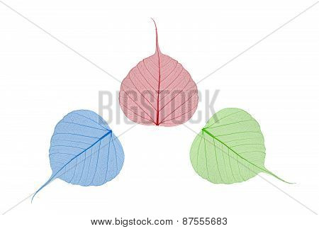 Green, Blue And Red Leaves Bodhi Isolated On White