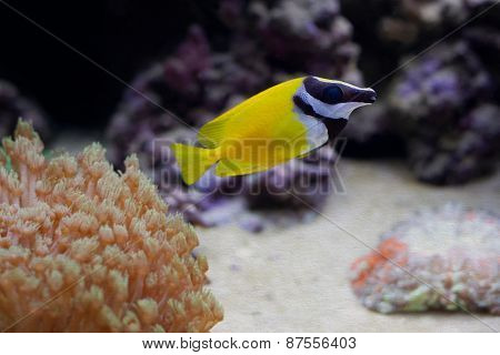 Marine Aquarium Tank With Yellow Fish