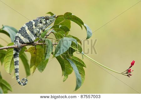 Melleri's Chameleon (chameleo Melleri) Sitting On A Branch With Flower