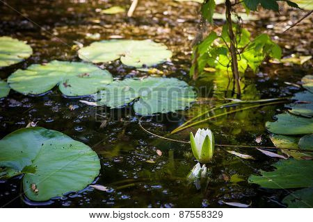 White River water lily and leaves