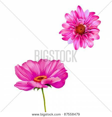 Mona Lisa flower, Pink flower, Spring flower.Isolated on white background. chrysanthemum. Tender pin