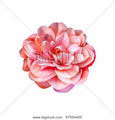 Beautiful bright Rose Camellia Flower isolated on white background