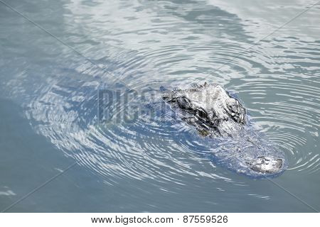 American Alligator Swimming in a RiverAmerican Alligator Swimming in a River
