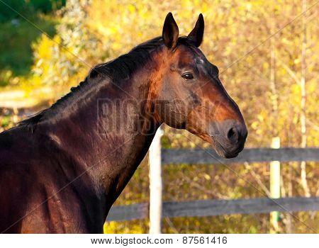 Portrait Of A Dark Bay Horse For A Walk