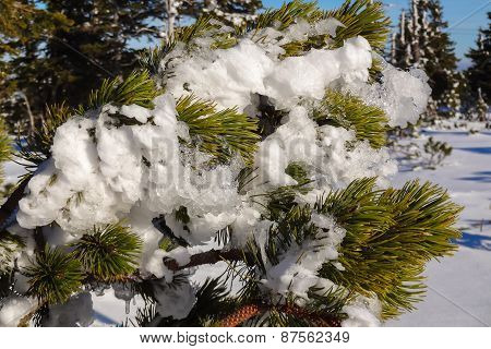 Frosted Snow On A Fir