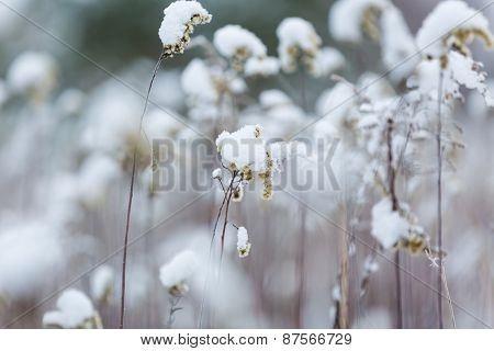 Withered Plants Under Snow