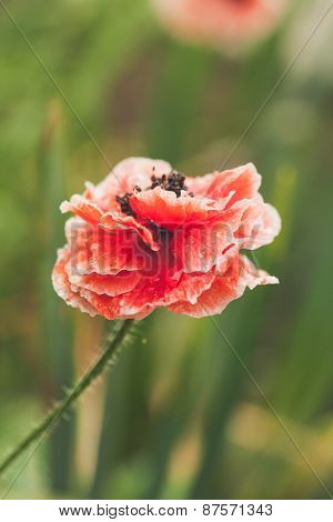 blooming red poppy flower