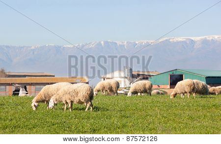 Sheeps grazing in the meadow of Extremadura in Spain