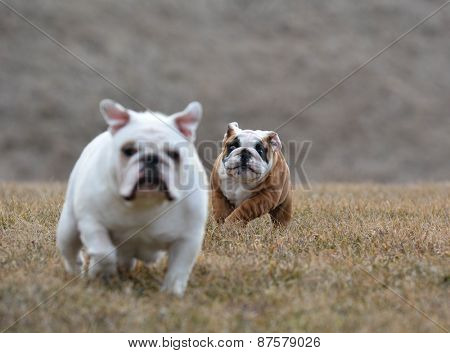 two dogs running - bulldog puppy chasing an adult in the grass