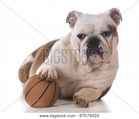 puppy playing with a ball on white background - bulldog 8 months old