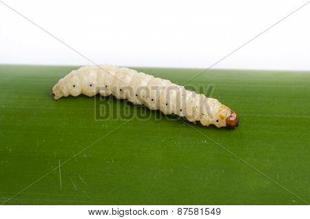 Bamboo Worm ,