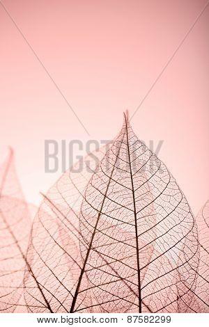 Skeleton leaves on pink background, close up