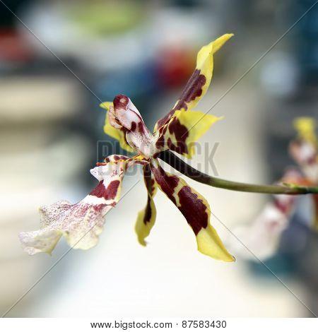 Orchid Zigopetalum