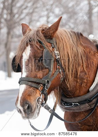 Brown Horse Ready For Sleigh Ride Close-up