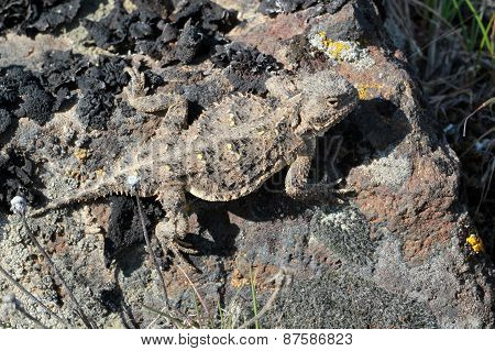 Pygmy Short-horned Lizard - Phrynosoma douglasii