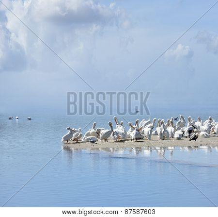 White Pelicans In Florida Beach