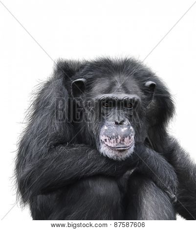 Black Chimpanzee Isolated On White Background
