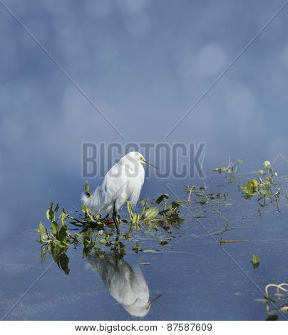 Snowy Egret (Egretta thula) In Florida Wetlands