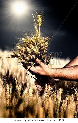 Wheat In Male Hands