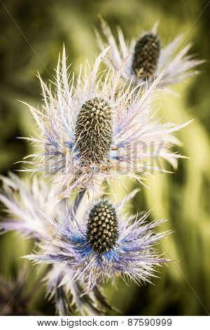 Thorny Thistle Flowers
