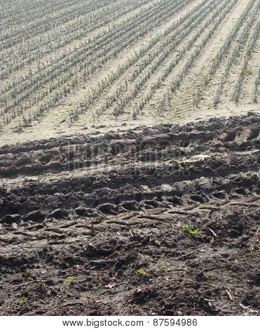 Farmer Field Fir Rows Planted With Tractor Tracks