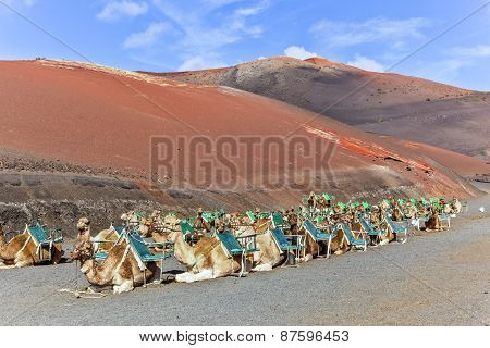 Camels In Timanfaya National Park Waiting For Tourists
