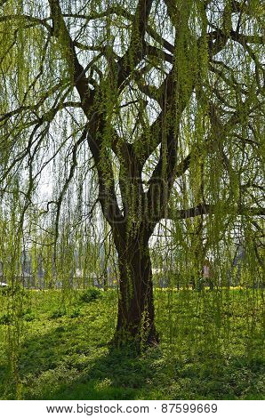 Weeping willow tree in England