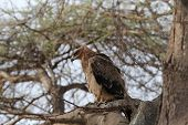 image of fish-eagle  - Wonderful african fish eagle on tree, Tanzania
