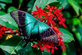 stock photo of spread wings  - A teal colored butterfly with wings spread on a bunch of red flowers - JPG