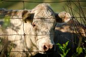 foto of cow head  - Closeup of the face and head of a white cow looking through a wire fence - JPG