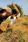picture of  bucks  - A buck with sharp horns eats away on the grass fields of Fogo Cape Verde - JPG
