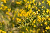 picture of scotch  - Yellow budding and blooming branch of a Scotch broom or Cytisus scoparius in the early spring season. ** Note: Shallow depth of field - JPG