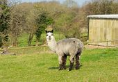 picture of alpaca  - Alpaca South American camelid resembles small llama coat used for wool - JPG