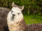 stock photo of alpaca  - Alpaca South American camelid resembles small llama coat used for wool - JPG