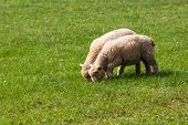 pic of eat grass  - Two Baby Lambs Eating Grass in a Field - JPG