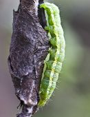 foto of cocoon tree  - Pest of fruit trees pear weevils creates cocoons of young leaves - JPG