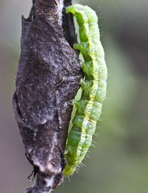 image of cocoon tree  - Pest of fruit trees pear weevils creates cocoons of young leaves - JPG