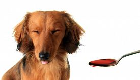 stock photo of frown  - Longhair dachshund puppy frowning at medicine in a spoon - JPG
