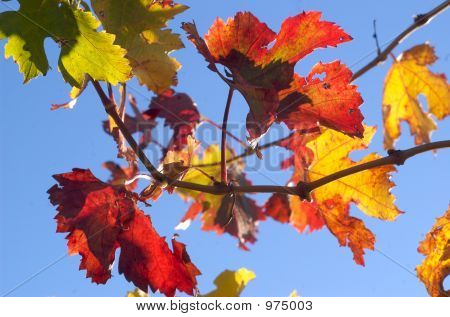 Fall Grape Leaves