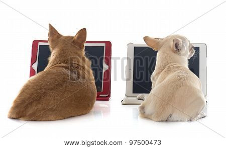 Chihuahua And Computer