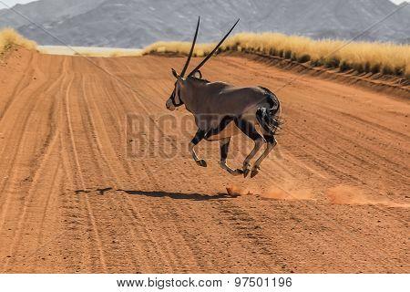 Gemsbok running